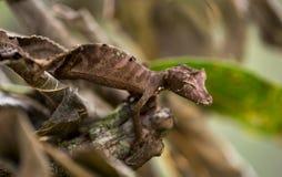 Liścia ogoniasty gekon w Madagascar Obraz Royalty Free