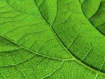 Liścia ` s Veinlet tekstury wzór Obraz Stock