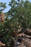 Liściasta Rockowa figa, Ficus abutilifolia Zdjęcia Royalty Free