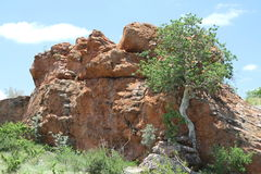 Liściasta Rockowa figa, Ficus abutilifolia Fotografia Stock