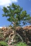 Liściasta Rockowa figa, Ficus abutilifolia Obrazy Stock
