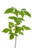 Liściasty klonowy sapling Zdjęcia Royalty Free