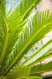 Liście drzewko palmowe Zdjęcie Stock