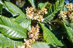 Liście i kwiaty nespolo Eriobotrya giapponese japonica Obrazy Royalty Free