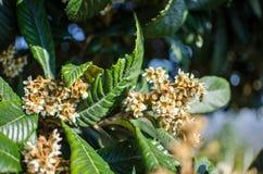 Liście i kwiaty nespolo Eriobotrya giapponese japonica Obraz Stock