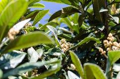 Liście i kwiaty nespolo Eriobotrya giapponese japonica Fotografia Royalty Free