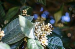 Liście i kwiaty nespolo Eriobotrya giapponese japonica Fotografia Stock