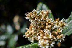 Liście i kwiaty nespolo Eriobotrya giapponese japonica Zdjęcia Royalty Free