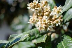 Liście i kwiaty nespolo Eriobotrya giapponese japonica Obrazy Stock