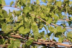 Liście i potomstw winogrona winogradu winogrono Zdjęcie Stock