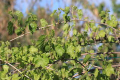 Liście i potomstw winogrona winogradu winogrono Zdjęcia Royalty Free