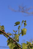 Liście i potomstw winogrona winogradu winogrono Zdjęcia Stock