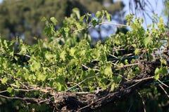 Liście i potomstw winogrona winogradu winogrono Obrazy Royalty Free