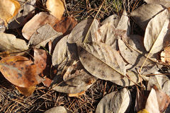 Liście jesieni topole Obrazy Royalty Free