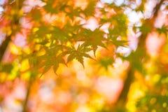 Liście klonowi, Japonia jesieni sezon Zdjęcie Stock