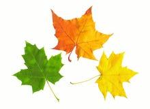 liście klonowi jesieni Obrazy Royalty Free
