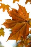 liście klonowi jesieni Zdjęcie Stock