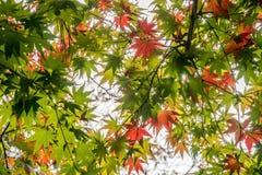 Liście Klonowi na drzewie w jesieni Obrazy Stock