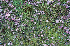 Liście klonowi na zieleni ziemi Fotografia Stock