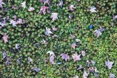 Liście klonowi na zieleni ziemi Zdjęcie Stock