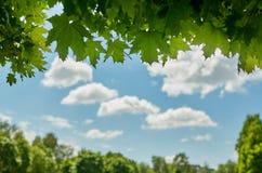 Liście klonowi przeciw niebieskiemu niebu z chmurami Zdjęcia Royalty Free