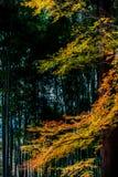 Liście klonowi w bambusowym gaju Obraz Stock