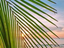 Liście palma na zmierzchu Obraz Royalty Free