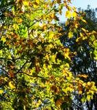 Liście w jesieni Fotografia Stock