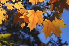 liście winogron obrazy stock