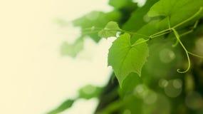 liście winogrona Zdjęcie Stock
