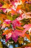 Liść, czerwony klonowy drzewo Obrazy Royalty Free