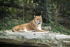 Li-ger, cross-breeding lion and tiger. Li-ger cross-breeding lion and tiger, in Everland zoo, South Korea Royalty Free Stock Images
