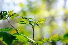 Liść klonowy w lesie Obraz Stock