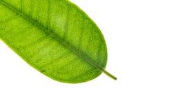 Li?? odizolowywaj?cy na bia?ym tle Ficus Benjamina Tekstura li?? Ficus Makro- widok abstrakcjonistyczna natury tekstura zdjęcie stock