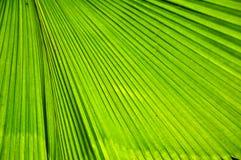 liść zielona palma Zdjęcie Royalty Free