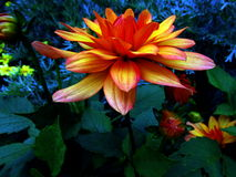 Lia del ¡ di Flore - di Dahlia Flower DÃ Fotografia Stock Libera da Diritti