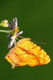 Liaea/mariposa/varón de Symbrenthia Fotos de archivo libres de regalías