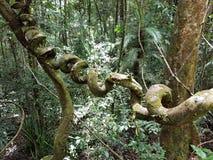 Lian i djungeln Arkivfoton