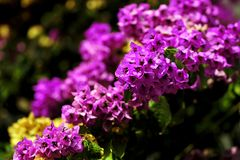 Liana Bougainvillea, fleurs roses photo stock