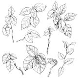 Liana Branches Sketch Stock Photography