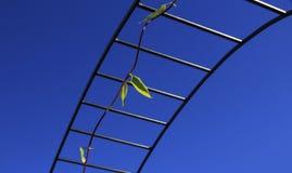 Liana che cresce sull'arco metallico Fotografia Stock