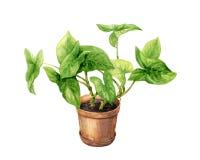 Liana in clay flowerpot. Royalty Free Stock Image