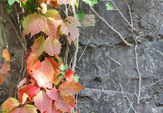 The liana with colorful leaves climbing at the wall Royalty Free Stock Photos