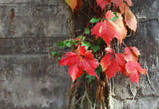The liana with colorful leaves climbing at the wall Royalty Free Stock Images