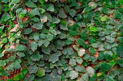 Liana covers green leaves with tree trunk in jungle. Selective focus, blurred background. Daylight. Royalty Free Stock Images