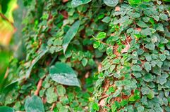 Liana covers green leaves with tree trunk in jungle. Selective focus, blurred background. Sunny Daylight. Stock Image