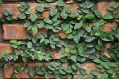 Liana growing on brick cladding Stock Photos