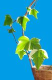 Liana  ivy in wicker. Ivy Hedera canariensis Willd  in wicker  on blue Royalty Free Stock Photos