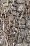 Liana krótkopędy campsis na gruzie siwieją kamienną ścianę Zdjęcie Stock