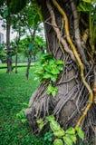 Liana plant creeping Royalty Free Stock Image